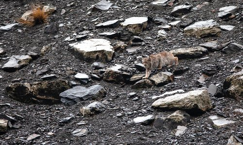 A sign of a balancing ecosystem, the Himalayan lynx returns to its ancestral home