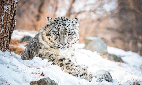 More than 70% of snow leopard habitat remains unexplored