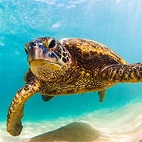 Adopt a Green Turtle | Symbolic Adoptions from WWF
