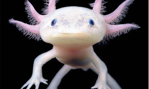 Meet the Peter Pan of salamanders