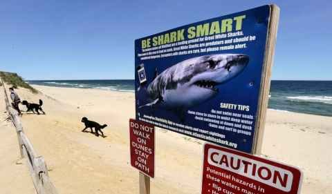 New England's great white sharks spend half their time in shallow water