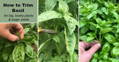 How to trim basil for big, bushy plants and larger yields