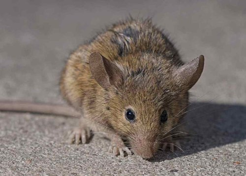 Woman thought she had COVID-19 but it was really typhus caught from a dead rat   Boing Boing