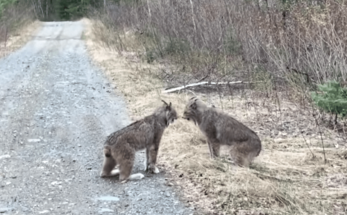 Watch: A pair of lynxes arguing in Ontario | Boing Boing