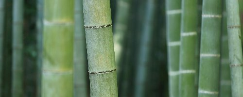 A nature-based solution? Five facts you didn't know about bamboo forests