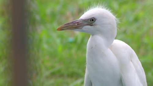 Fort Worth Officials Working With Residents to Avoid Egret Invasion