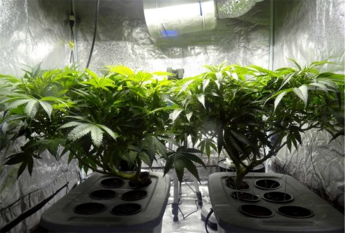 Man evicted home renters for growing cannabis and then set up his own grow operation there | Boing Boing