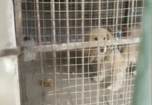 Chinese zoo tried to pass off Golden Retriever as African lion | Boing Boing