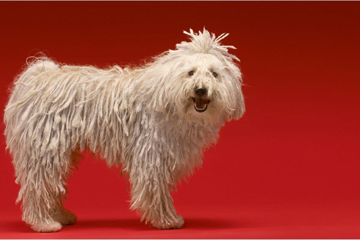 29 Fluffy Big Dog Breeds