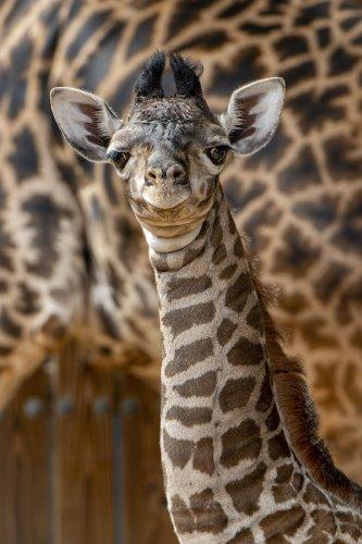 Walt Disney World Welcomes Adorable Giraffe Calf: It's a Boy - The Main Street Mouse