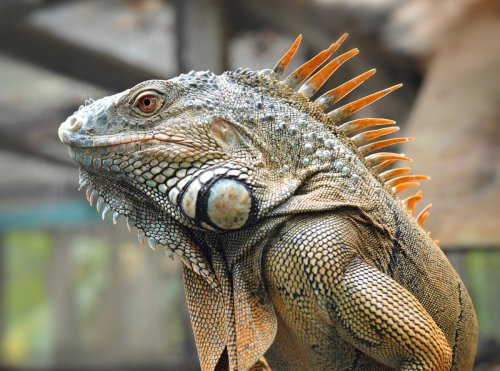 The former president of DuPont had a squad of trained attack iguanas   Boing Boing