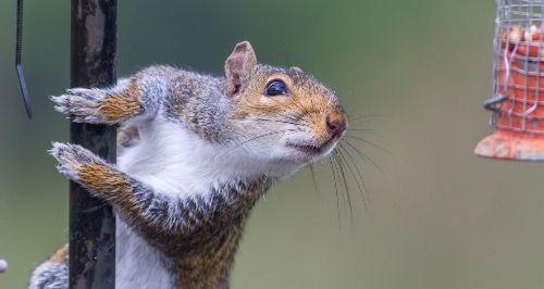 4 Best Squirrel Repellents – Top Natural Squirrel Sprays & Granules