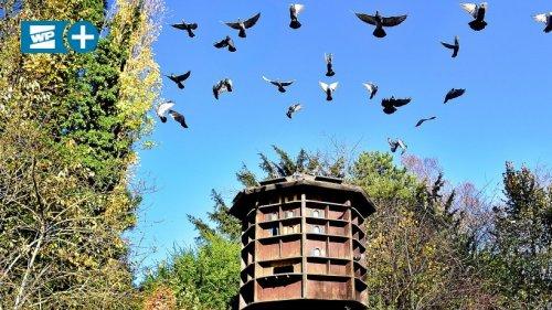 Tierschützer fordern Taubenhaus für Mendener Innenstadt