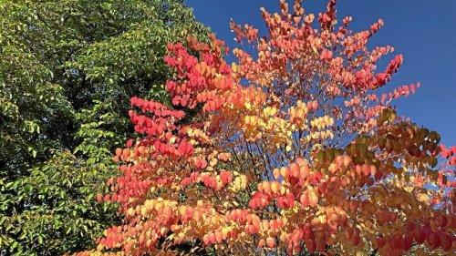 Olper Gartenexperte: Warum der Lebkuchenbaum besonders ist