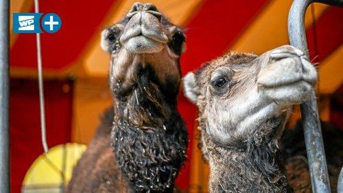 Ein Zelt für die Kamele des lahm gelegten Circus Max Renz