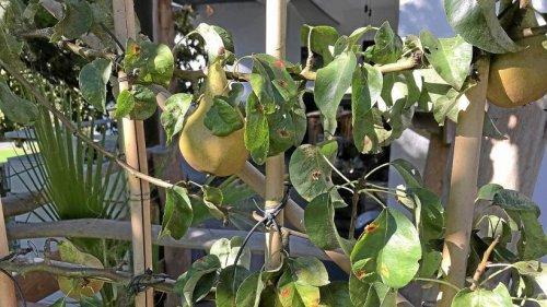 Olper Gartenexperte: Wie ein Birnbaum als Raumteiler dient