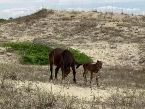 Corolla welcomes sixth wild horse foal born along NC's Outer Banks in 2021