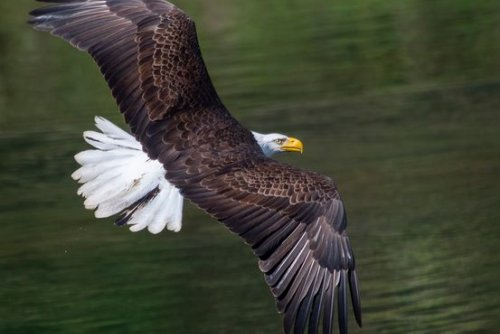 Bald Eagles Are Back. And They Want to Eat Your Pets.