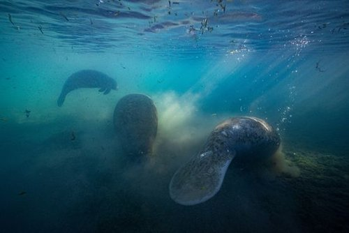 Manatees Are Dying in Florida, and the U.S. Wants to Know Why