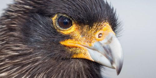 'A Most Remarkable Creature' Review: The Curious Caracara