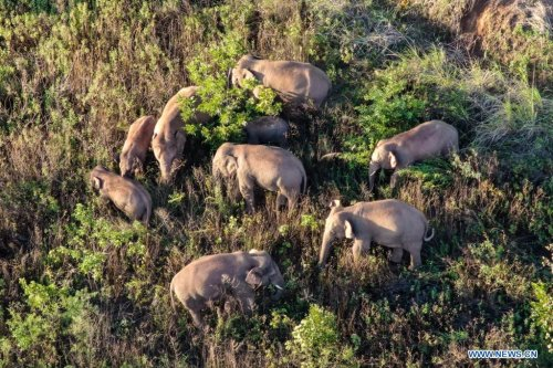 China's migrating elephant herd lingers in township - Xinhua | English.news.cn