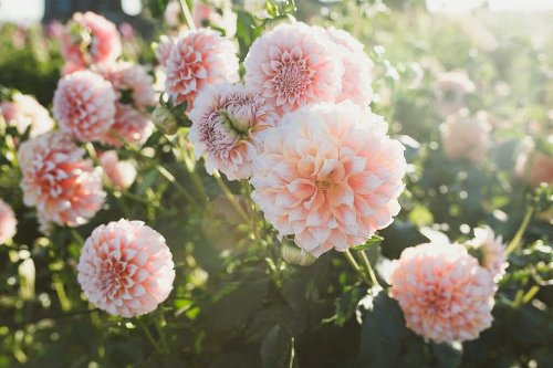 Plant These Flower Bulbs, Corms, and Tubers in the Spring and Look Forward to Tons of Late Summer Blooms