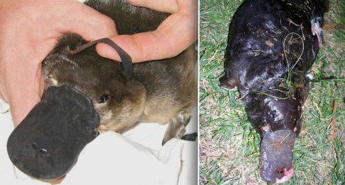 Astonishing number of platypuses found entangled in litter