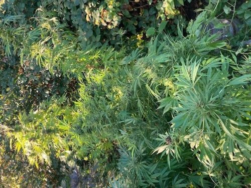 """""""Most unusual"""": Bemused officers seize cannabis plants being grown OUTSIDE in Seacroft"""
