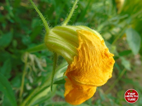 Pumpkin Flowers Nutrition: Great Food for Weight Loss and Italian (Fiori di Zucca) Sauce Recipe