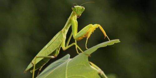 The Spiritual Meaning Of Seeing A Praying Mantis