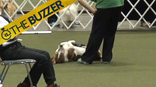 This lazy basset hound loafing through an agility test is the best