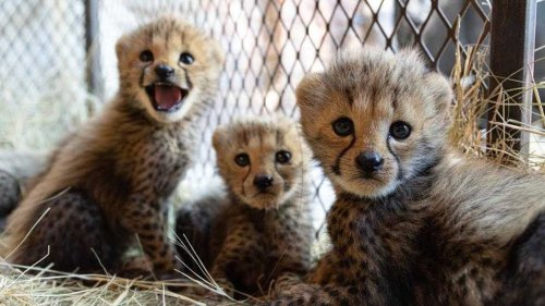 Baby cheetahs make a home at the sanctuary   The Lion Whisperer
