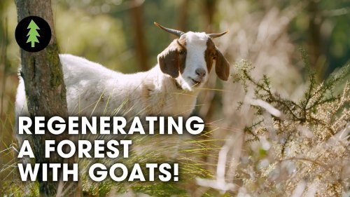 How Goats are Regenerating a Forest and Protecting this Town from Bushfire