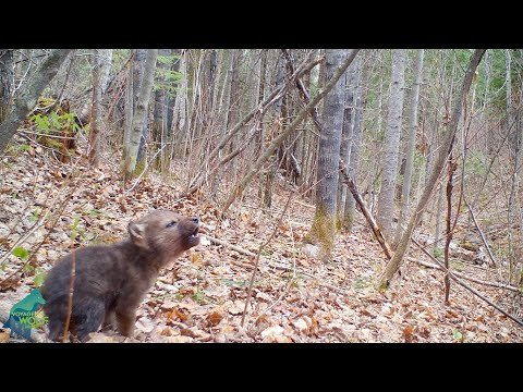 Trail Cam Catches Adorable First Howls Of Brand New Wolf Pup