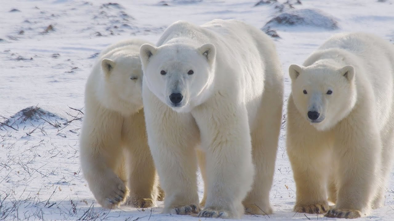 10 Fascinating Facts about Polar Bears You Might Not Know