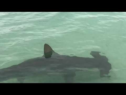 Group Of Hammerhead Sharks Surprise Florida Beachgoers In VERY Shallow Waters