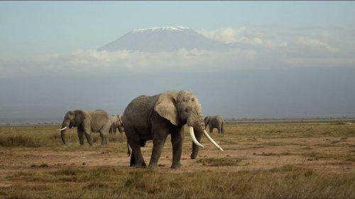 Elephants in Amboseli | David Yarrow Photography