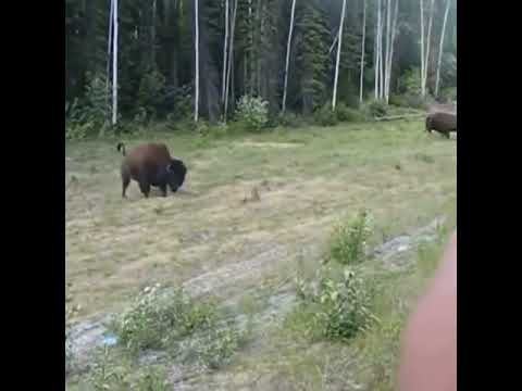 "Bison Launches Charging Pit Bull In Yellowstone: ""JESUS CHRIST, RICHARD!"""