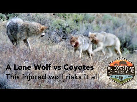 Desperate Wolf With Broken Leg Wanted Every Bit Of A Pack Of Coyotes At Yellowstone
