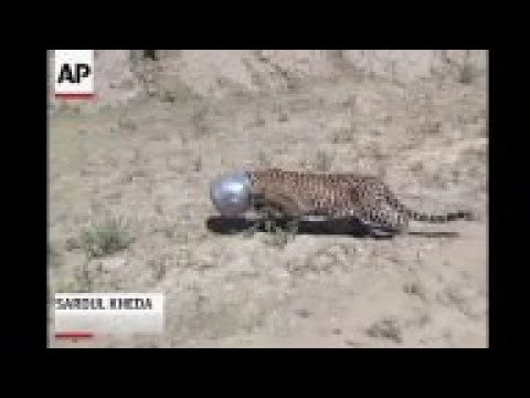 Raw: Thirsty Leopard Jams Head into Pot