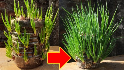 Perfect Method For Grow Green Onion In Plastic Bottle