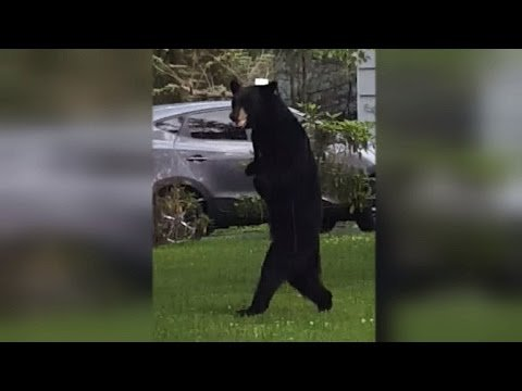 World's Chillest Black Bear Sits On A Couch Like A Person