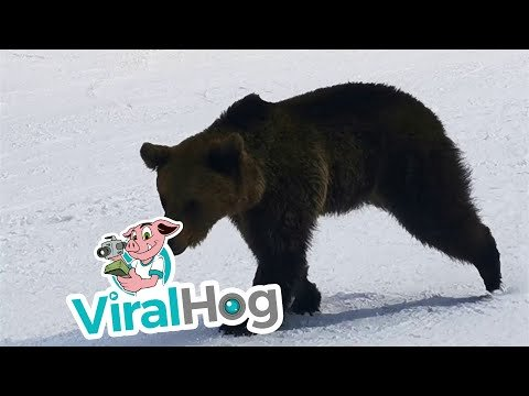 Skier Is WAY Too Calm During Insanely Close Encounter With Bear On The Slopes