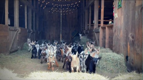 Epic Running of the Goats @Sunflower Farm Creamery