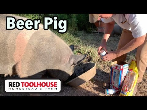 Farmer Sedates His Pig With Natural Light Beer In Order To Administer First Aid To Damaged Hoof