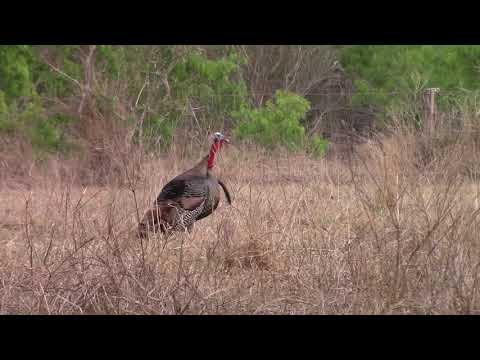 5 Wild Turkeys Brutally Assault Another Turkey After Hunter Shoots It