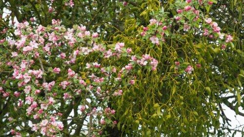 Agrar: Mistel gefährdet Obstbäume und breitet sich stark aus