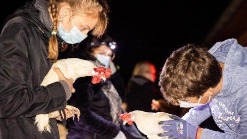 Tiere: Verein rettet 850 Legehennen vor dem Schlachter