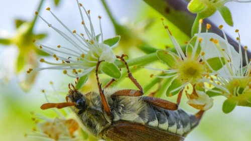 Maikäfer machen Landwirten im Bayerischen Wald zu schaffen