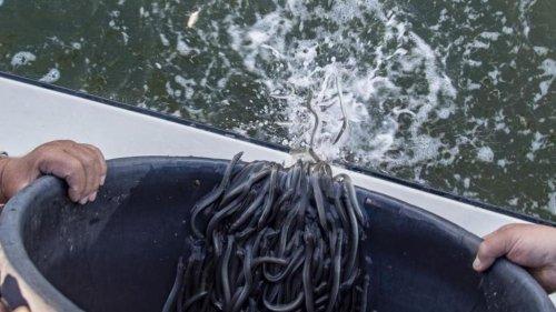 Tiere: Anglerverband Niedersachsen setzt Jungaale aus
